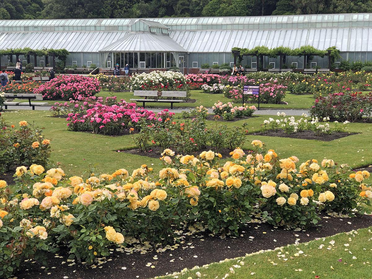 De Lady Norwood Rose Garden
